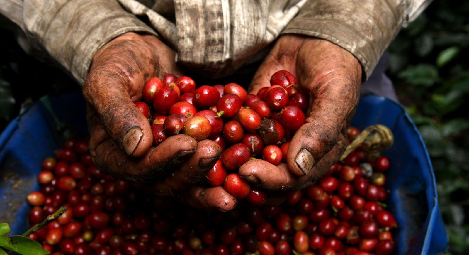 Campesinos de países productores de café en crisis por bajos precios del  grano | La Portada Canadá